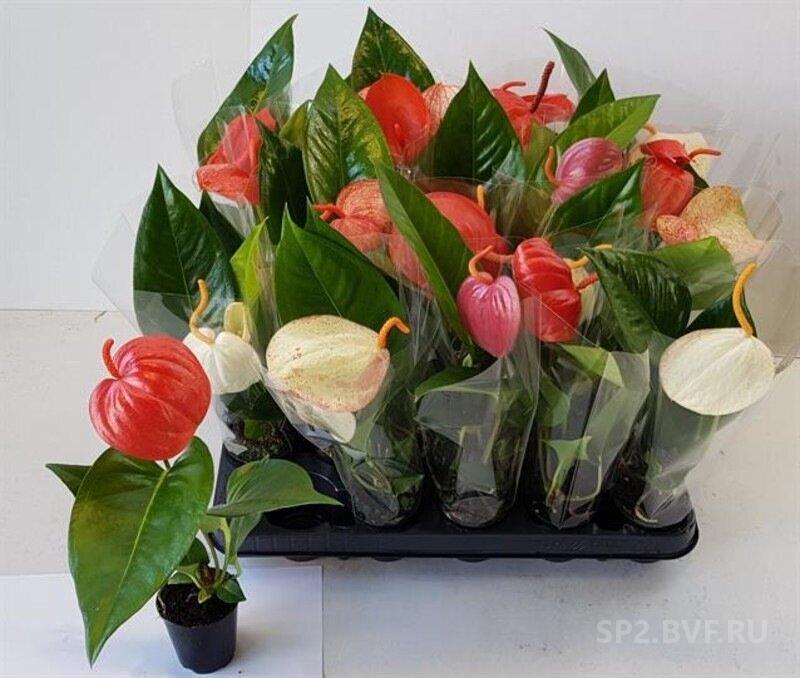 Заказ цветов из голландии комнатных растений